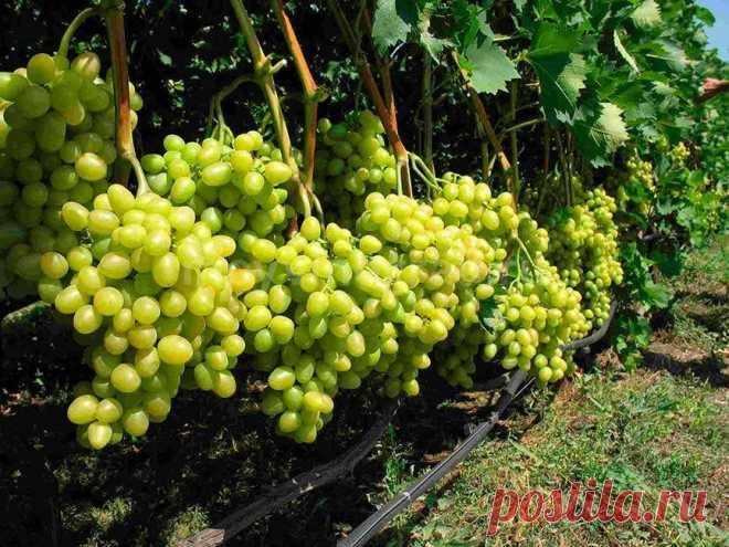 5 правил вирощування великого врожаю винограду Якщо періодично оглядати виноградну лозу, то багатьох проблем вдасться уникнути.Запам'ятайте кілька простих правил, дотримуючись яких ви отримаєте виноград відмінної якості.    Правило перше - стежимо за зростанням грона    Зверніть увагу, як ростуть грона: чи не переплелися вони з дротом, лозою і