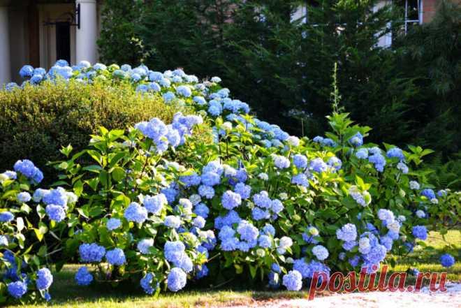 Цветение у гортензии будет пышным: странные, но действенные подкормки | Огородные шпаргалки | Яндекс Дзен