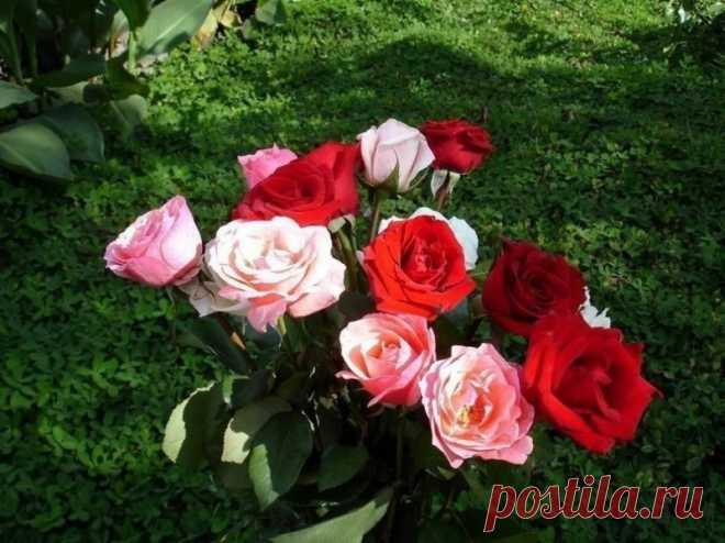Йод и молоко прогнали тлю с моих роз — Садоводка