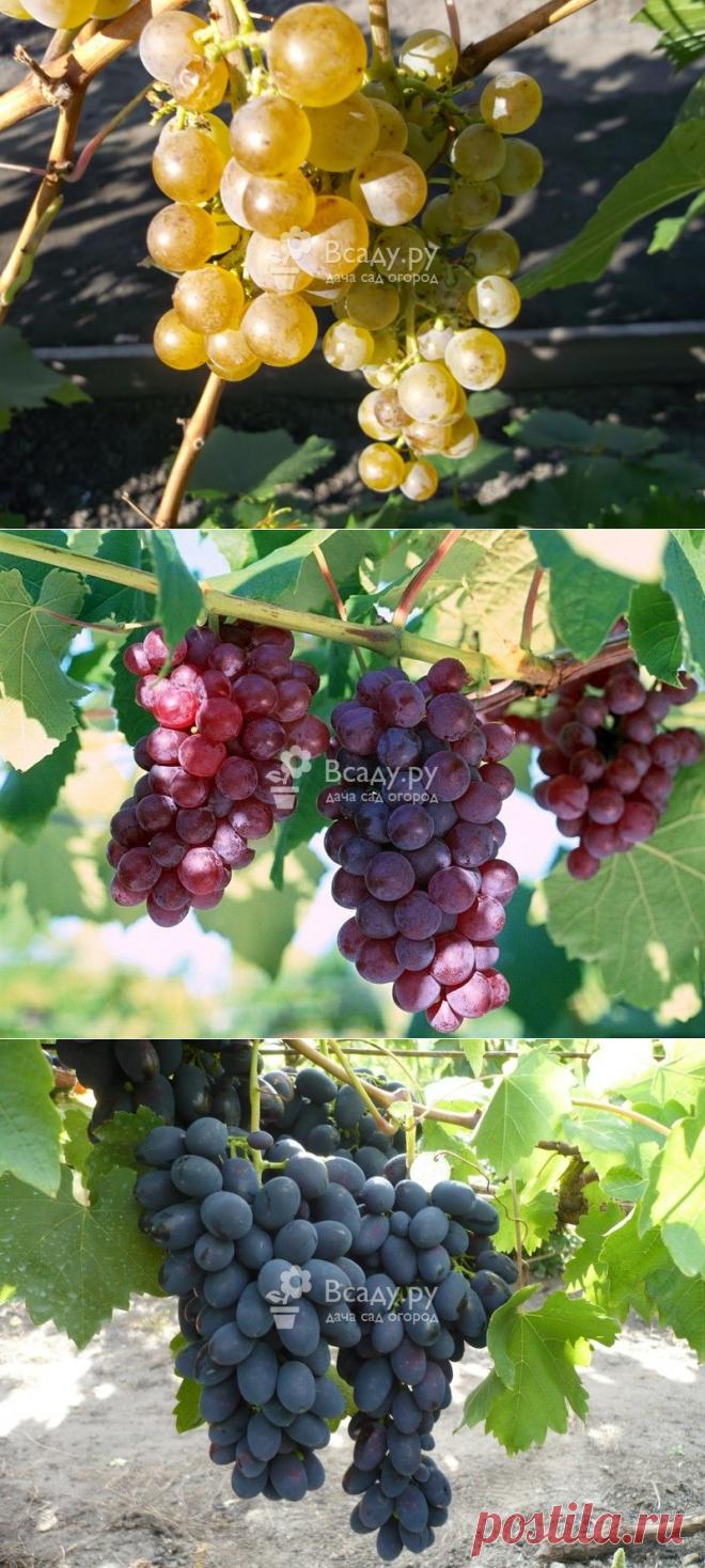 Сорта винограда сибири в картинках