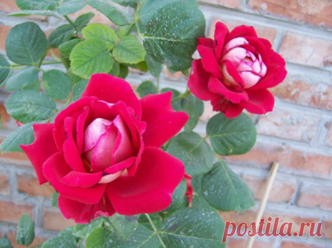 Care of roses: 5 important issues in August
