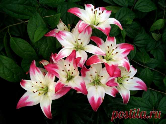 413a44a1c01 Обои на рабочий стол Цветы Лилии