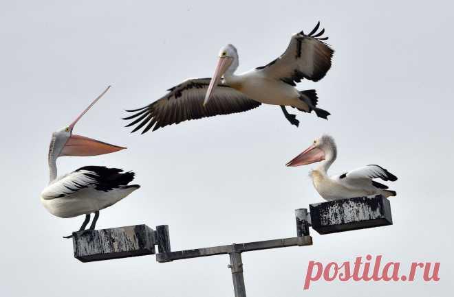 Австралийские пеликаны на уличном фонаре. Сидней, Австралия. Австралийский пеликан — самая большая летающая птица страны. Этот вид занесен в Книгу рекордов Гиннесса. Что в них уникального? Рассказываем по ссылке 👇