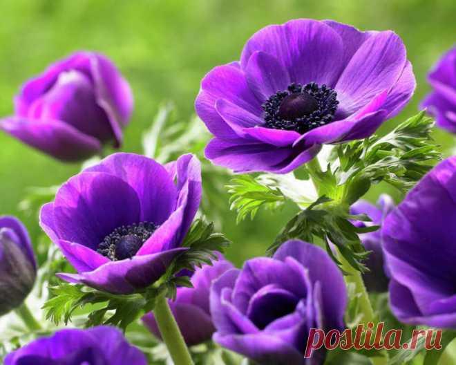 Все про красавицу анемону в вашем саду) | 6 соток