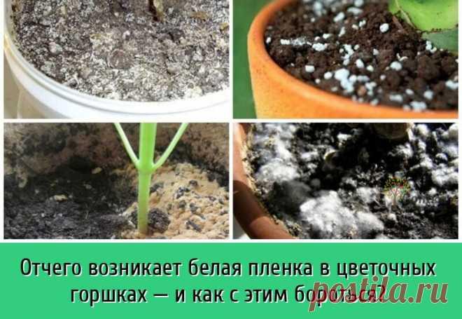 Частая проблема у неопытных цветоводов-любителей – это появление в горшках беловатого налета на поверхности земли. | OK.RU