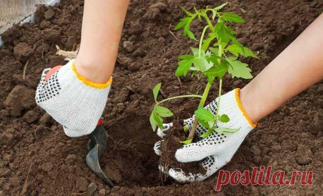 El desembarco de las plantas de los tomates en el terreno y el invernadero   En gryadke (Огород.ru)