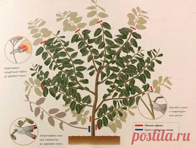 Обрезка чубушника (жасмина садового)