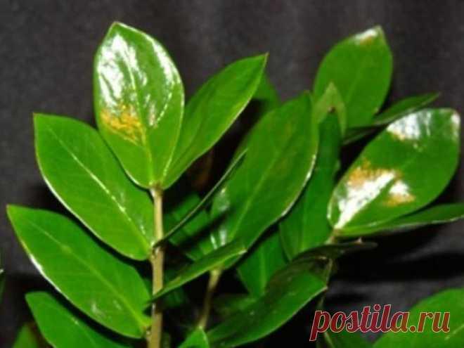 Почему не растет долларовое дерево? Большинство цветоводов-любителей редко обращают внимание на происхождение того или иного растения, но при этом пытаются создать ему комфортные условия. Долларовое дерево относится к суккулентам — раст...
