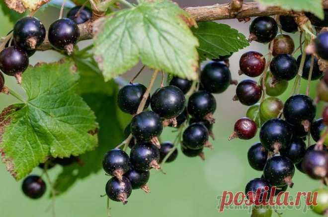 Посадка чёрной смородины и уход за растением