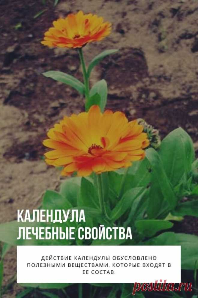 Календула лечебные свойства. Описание: растение календула в народе называется аптечный ноготок, так как семена календулы своей формой напоминают когти птиц, отсюда и название – ноготок. Он представляет собой невысокое однолетнее травянистое растение с золотисто-оранжевыми цветками. Лист календулы продолговатый, короткочерешковый, длиной до 13 см.