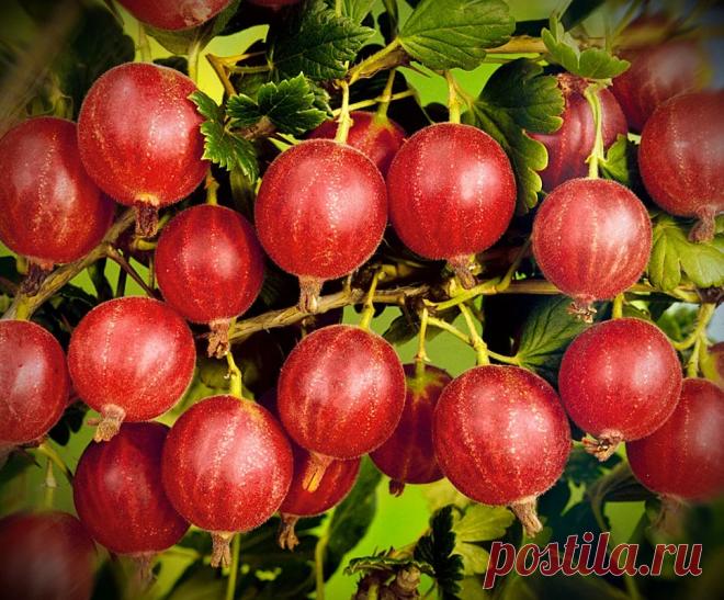 Крыжовник будет обильно плодоносить в следующем году после правильной обрезки и ухода осенью | В моём саду | Яндекс Дзен