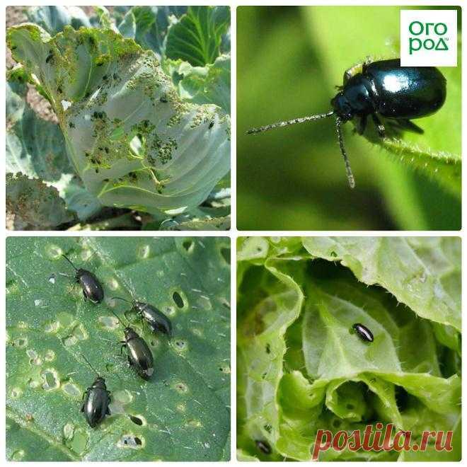 Чем обработать капусту от вредителей | На грядке (Огород.ru)