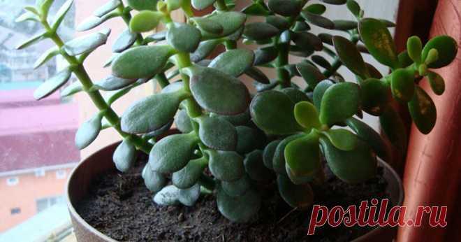 Скорее всего, у тебя в доме растет это целебное растение. Научись его использовать правильно!