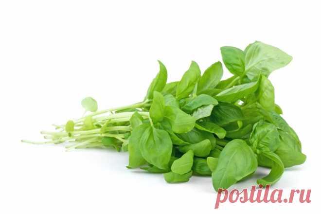 Выращивание базилика. Посев рассады, высадка, уход и сбор урожая Как вырастить базилик, какой уход ему необходим и как собрать хороший урожай? Выращивание базилика в деталях у нас на сайте.