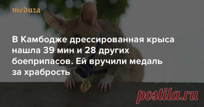 В Камбодже дрессированная крыса нашла 39 мин и 28 других боеприпасов. Ей вручили медаль за храбрость — Meduza Благотворительная организация PDSA, с1943 года вручающая ежегодные награды животным, отличившимся храбростью ипроявившим героизм ввоенных условиях, впервые присудилатакую награду крысе. Лауреатом стала гигантская африканская сумчатая крыса поимени Магава— засвое участие вразминировании территории Камбоджи. Досих пор такие награды получали только собаки.