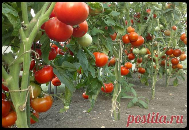 Чтобы томаты быстрее созрели. Хитрости бывалых огородников. | На даче | Яндекс Дзен