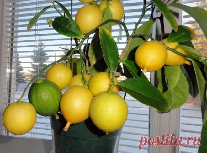 Нет зимовки – нет лимонов! Цитрусовые (лимоны, апельсины, мандарины) зимой надо немного продержать в холодном и светлом... Читай дальше на сайте. Жми подробнее ➡