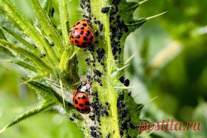 Какие полезные насекомые обитают в наших садах и в чем их польза На какие группы можно разделить полезные насекомые. В чем их польза.