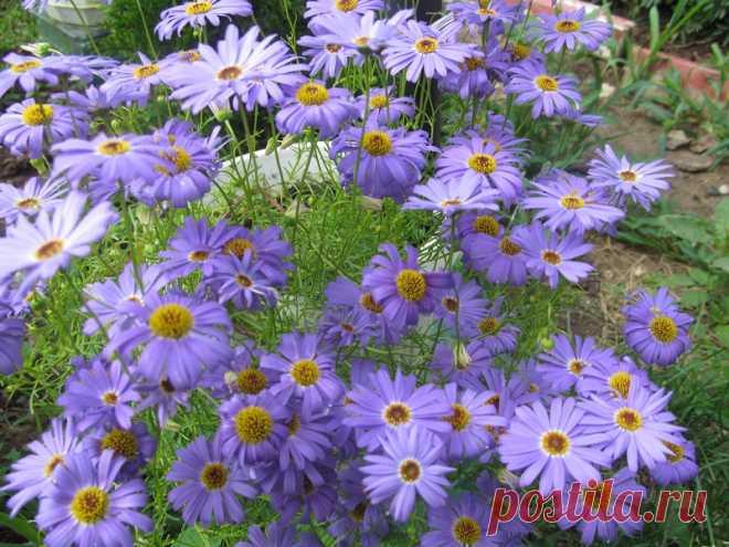 Пышнорастущие цветы для сада