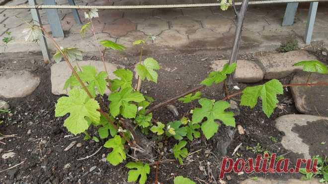 Какие работы необходимо выполнять в начале отрастания лоз на винограде.   Сельское Подворье   Яндекс Дзен