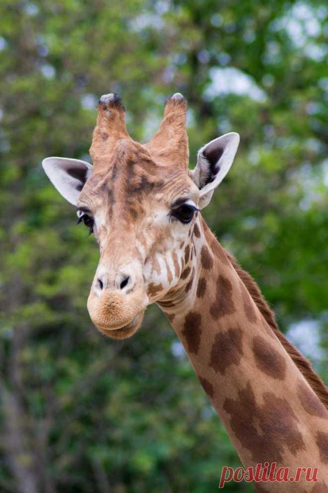 ღ  ... Немного интересных фактов о жирафах..   🦒... Считается, что жирафы никогда не зевают. По крайней мере ученым не удалось зафиксировать еще ни одного подобного случая.  🦒... Даже дети знают о том, что жирафы являются самыми высокими наземными животными в мире. В среднем высота взрослого жирафа достигает 6 м.  🦒... Для захвата веток или листьев, жирафы способны высовывать свой язык на 45 см.