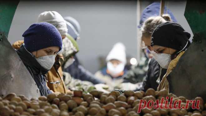 Фермеры предупредили о резком подорожании картошки в России Стоимость картофеля выросла на 20% из-за неурожая в 2020 году и может подорожать еще сильнее, пишет «Московский Комсомолец» .