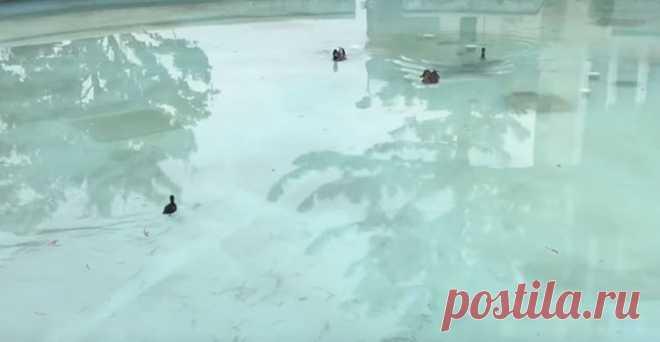 Утенка нашли неподалеку от бассейна и отнесли его родителям #Видео