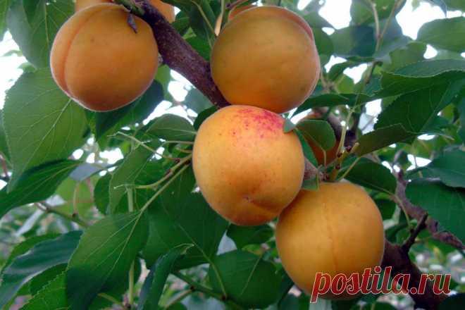 Об абрикосе