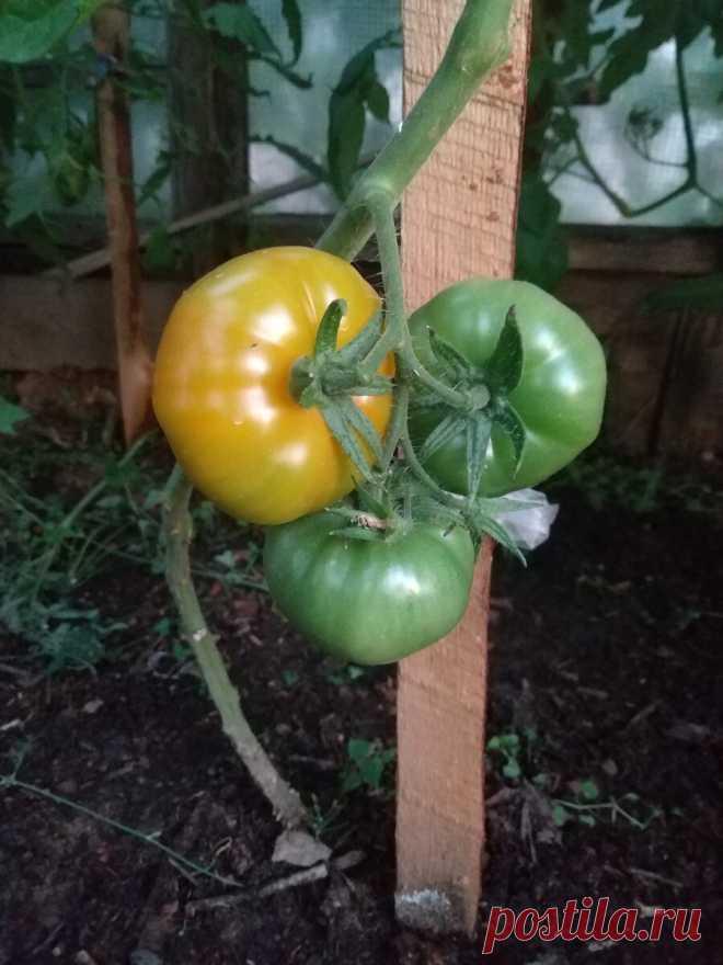 Продолжение эксперимента по лысым помидорам | Я из Нижнего | Яндекс Дзен