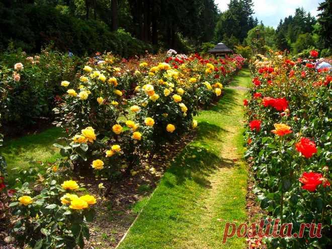 Как и когда правильно снимать укрытие с роз весной. Практические советы и рекомендации