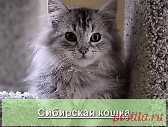 Сибирская кошка - описание и история породы на Про Питомца