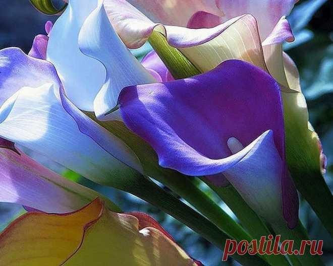Калла цветок в домашних условиях Растение калла (лат. Calla), или Зантедеския (лат. Zantedeschia) – род многолетних растений семейства Аридные, или Афонниковых. Растет цветок калла в сырых местах Южной Америки и в Африке, от Нигерии ...
