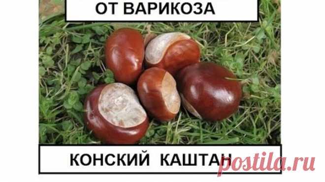 Конский каштан от варикоза и тромбофлебита