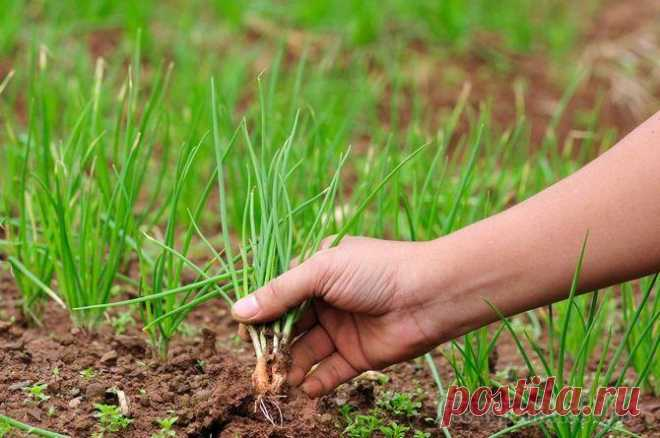 Подкормка лука: минеральные и органические удобрения для лука
