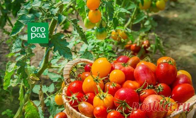 Как увеличить урожай томатов в открытом грунте вдвое | На грядке (Огород.ru)
