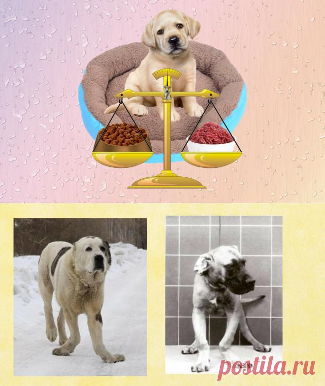 несбалансированный рацион у щенка, переизбыток мяса, кальция, могут привести к деформации конечностей