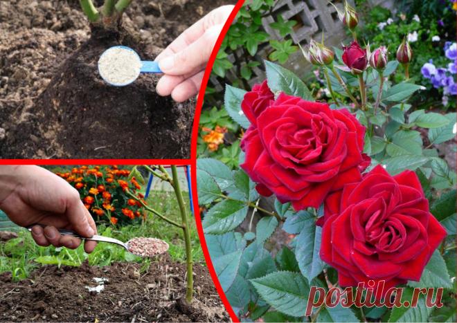 Июнь - время особого ухода за розами. Делаю так и моей клумбе завидуют соседки | ДАЧКОМ: Дачный Комиссар | Яндекс Дзен