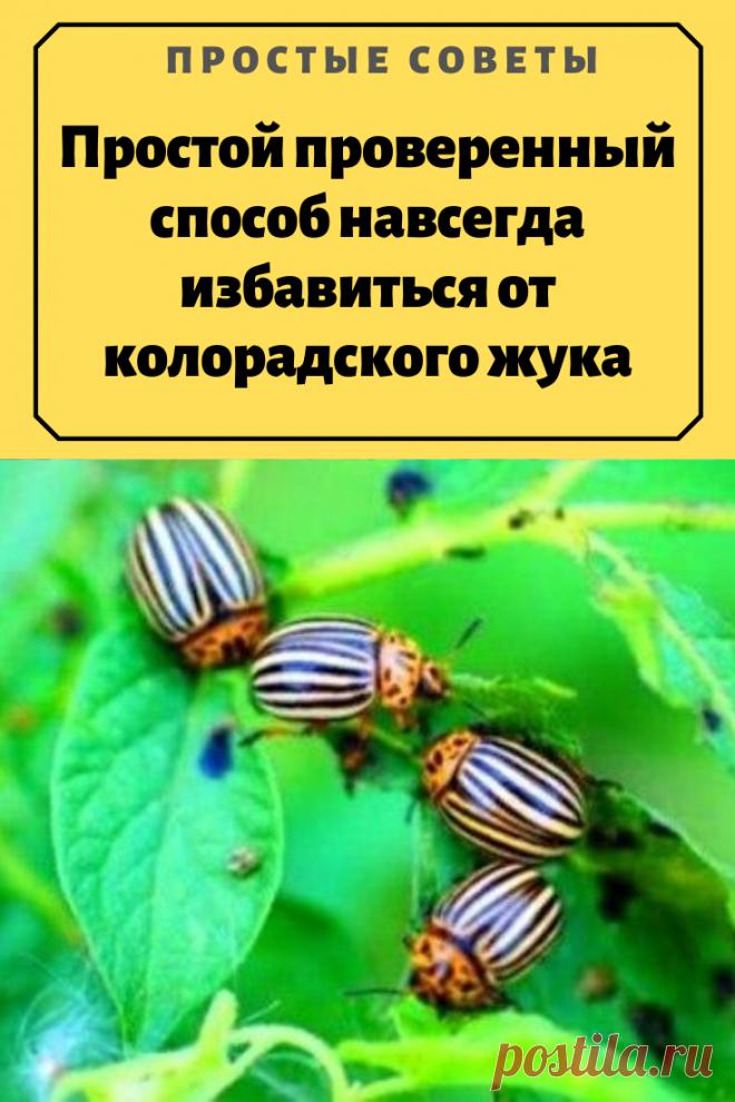 Простой проверенный способ навсегда избавиться от колорадского жука – Простые советы