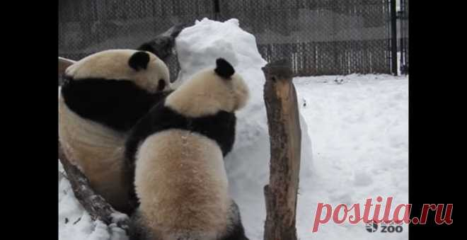 Carefully — shock content! The zoo Toronto published video which is shot with a hidden camera on which the family of pandas commits a cruel assault on a snowman #Видео