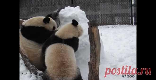 Осторожно — шок-контент! Зоопарк Торонто опубликовал видео, снятое скрытой камерой, на котором семья панд совершает жестокое нападение на снеговика #Видео