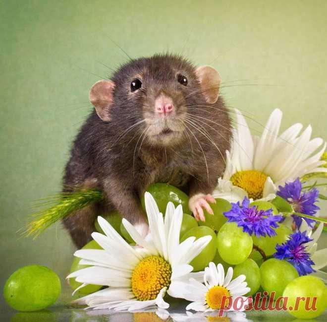 Крысиные портреты