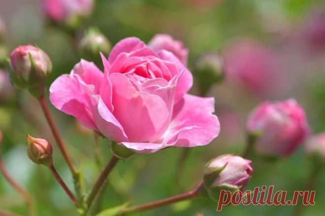 Правильный уход за розами летом: советы опытного огородника