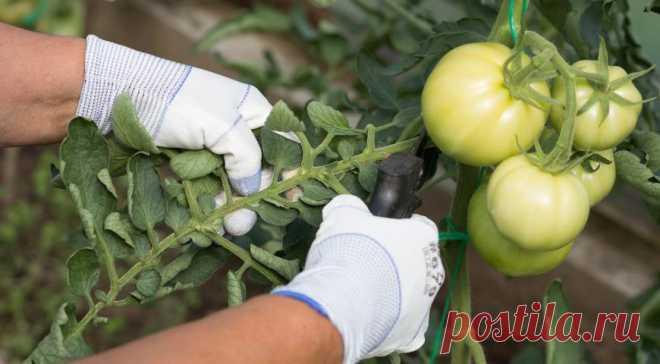 Формирование томатов: 5 наилучших способов