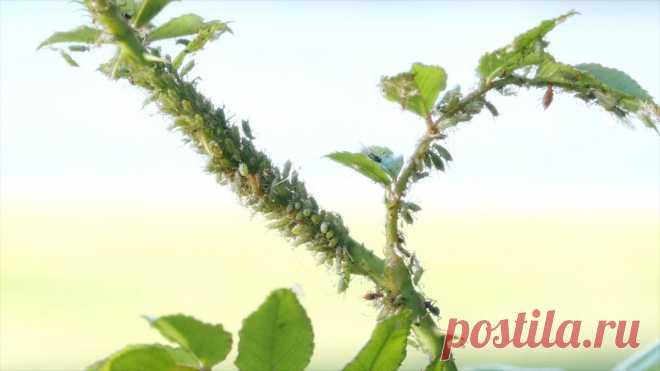 Избавляемся от вредителей без последствий для себя — Ботаничка.ru
