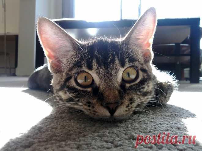 Самые дорогие породы кошек в мире | 495x660