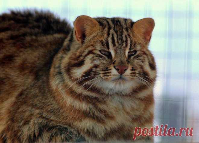 Амурский лесной кот.