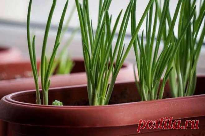Лук-батун на подоконнике: выращиваем из семян