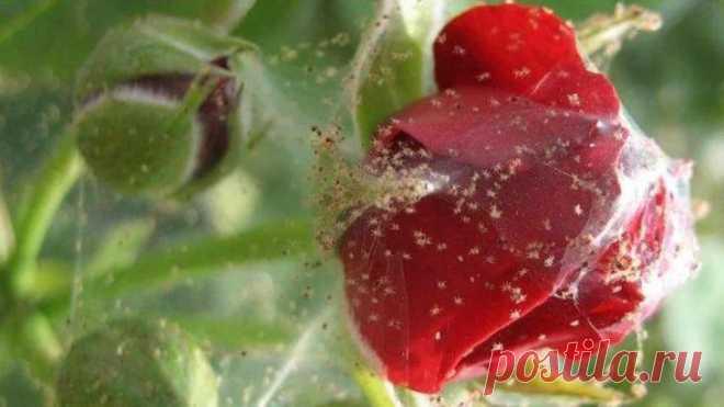 Паутинный клещ на цветах дома: описание и способы борьбы