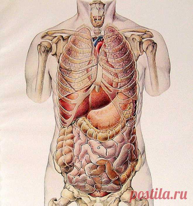Расположение органов на фотографии человека
