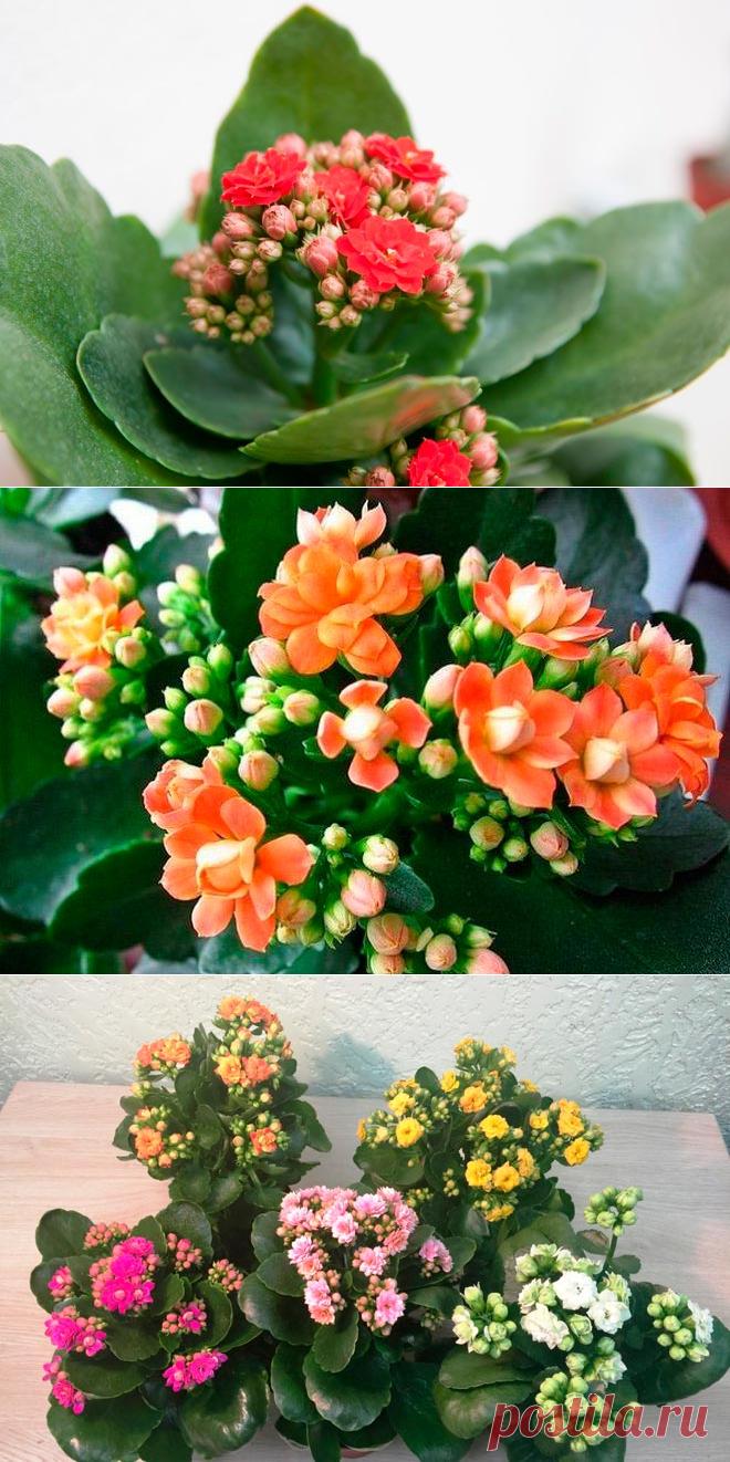 Цветок каланхоэ блоссфельда